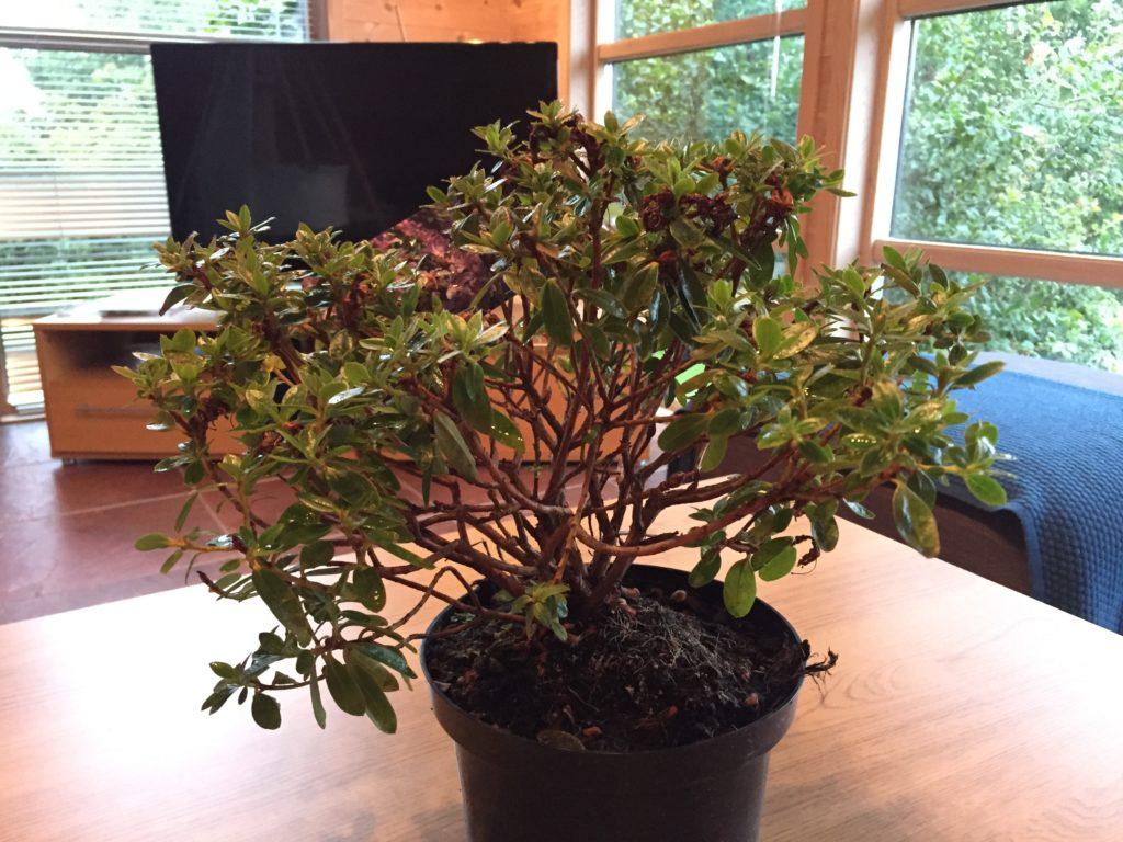 Pre bonsai Norge Stavanger Sandnes hommersåk