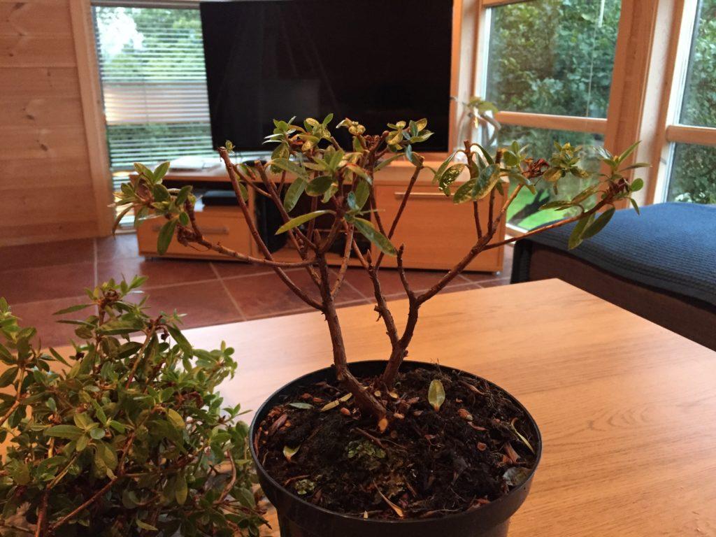 rhododendron bonsai bonzai miniatyrtre