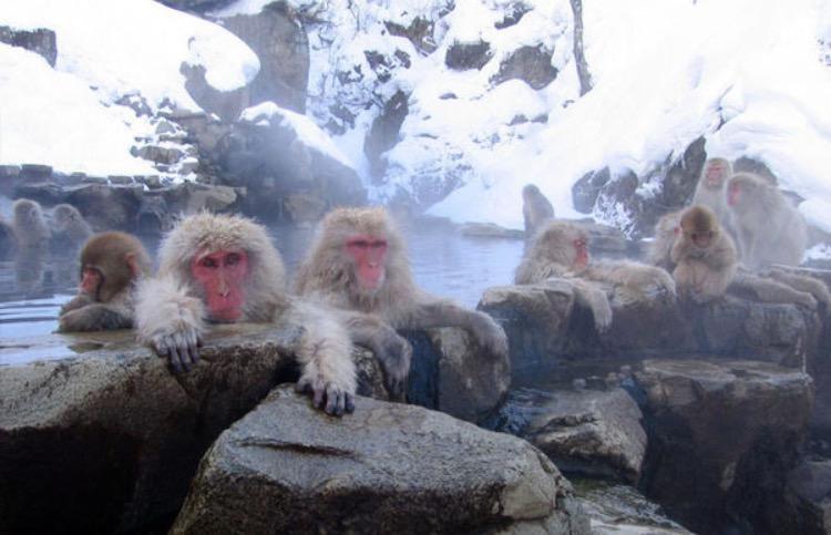Nishiyama snowmonkey snøaper Japan