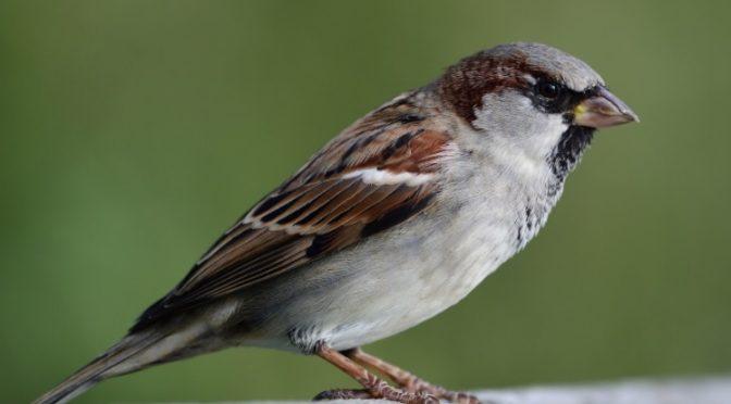 Ikke alle små fugler er gråspurver