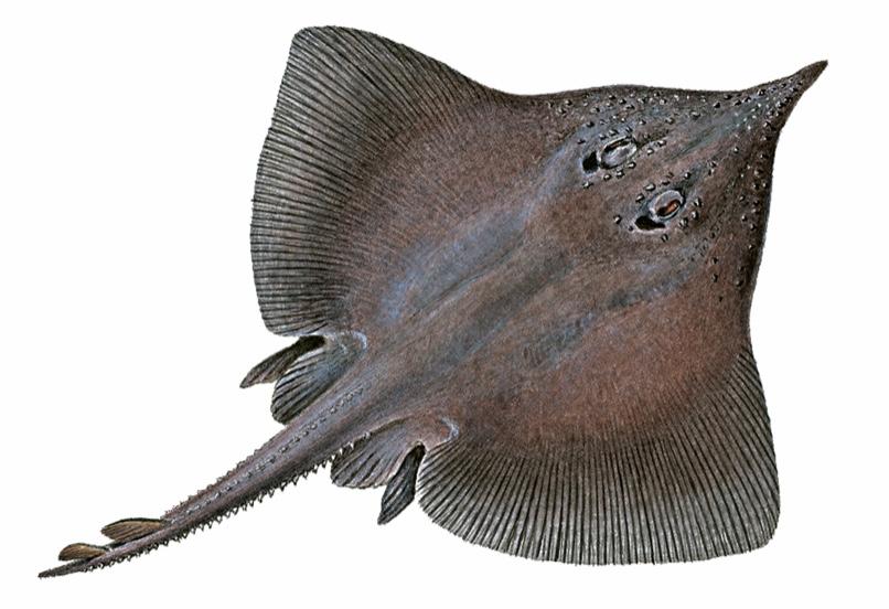 Dipturus nidarosiensis svartskate norwegian skate fish
