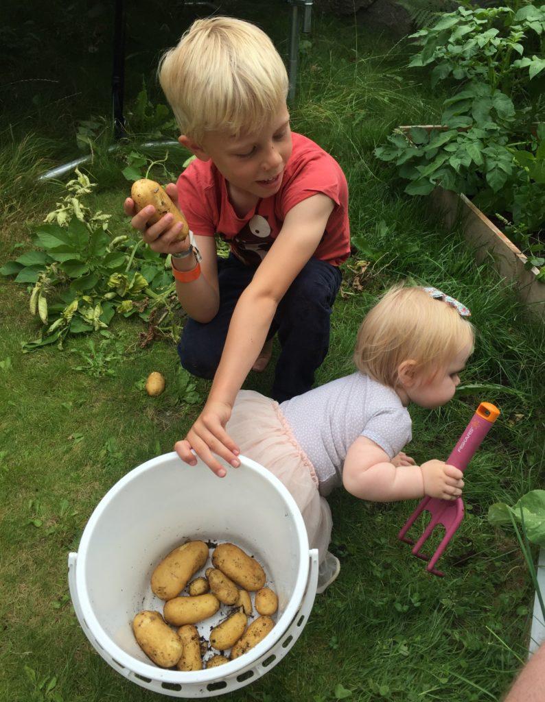 Nypoteter fra hagen hvordan dyrke potet i hagen