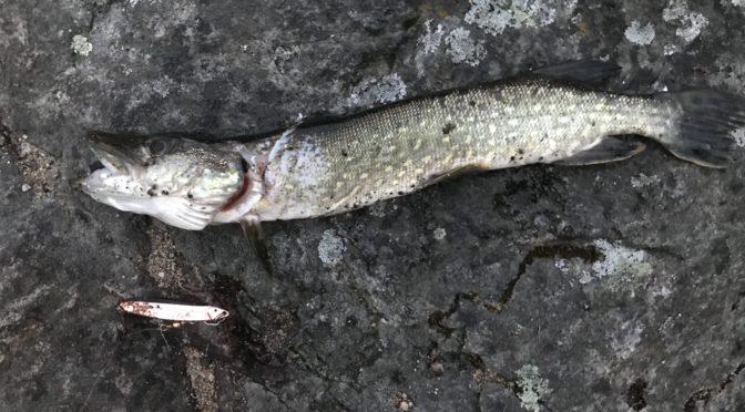 Predatorfiske på Vestlandet