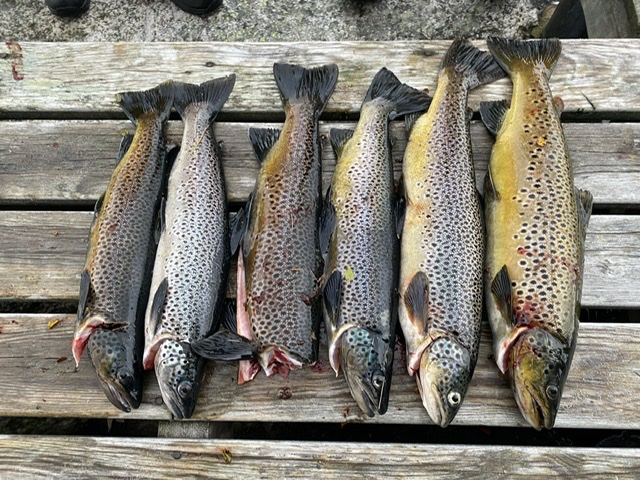 Stor Ørret i Blåsjø fiske brunørret Sandalsvatnet